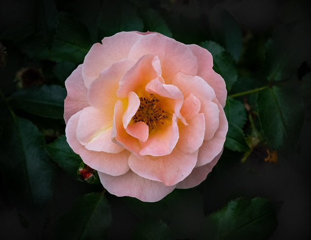 Rose pink A (1 of 1)