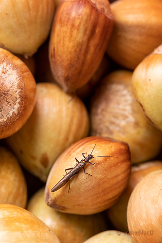 Hazel Nuts and Visitor | by AnnieMacD