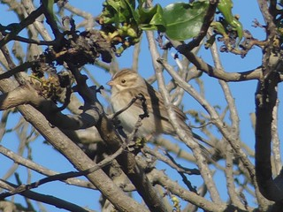 Clay-colored Sparrow Ocean Park