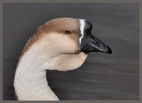 African Goose Portrait