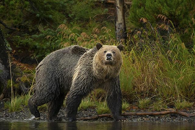 Grizzly Patrol