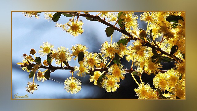 Gorgeous Golden Wattle.