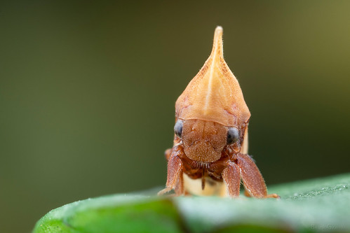 Enchenopa (Membracidae)