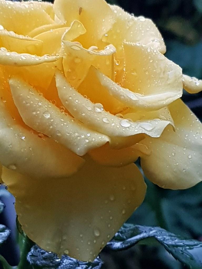 Rosa amarilla en cuadratura de Marte en libra.