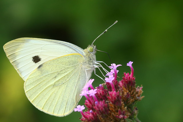 Large White butterfly at Crescent Garden, Gosport
