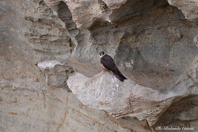 Falco della regina _016
