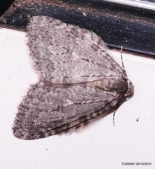 """ November Moth agg"" ""Epirrita dilutata agg""  IR   P1550436"