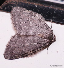 """ November Moth agg"" ""Epirrita dilutata agg""   IR  P1550435"