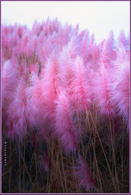 1023. Pampas Grass