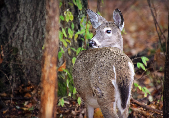 When Whitetail Deer ...