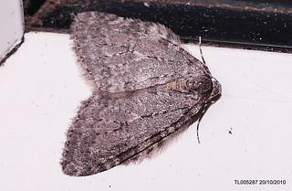 """ November Moth agg"" ""Epirrita dilutata agg"" FB IR  P1550434"