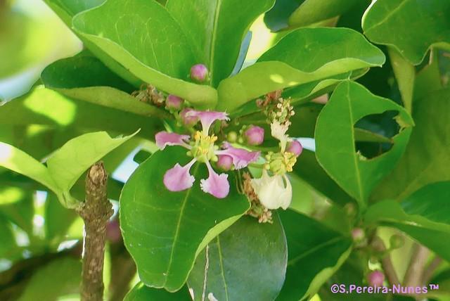 Acerola or Barbados Cherry Flower, Flor de acerola, F Hills, Brazil