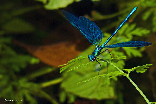 Libelinha -Calopteryz-virgo(M)