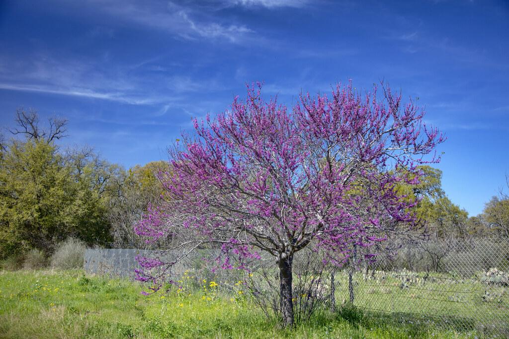 Rosebud Tree In Bloom 3 I Think It Is One Of The Prettiest Flickr