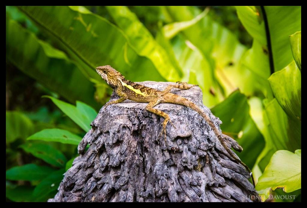 Chill lizard