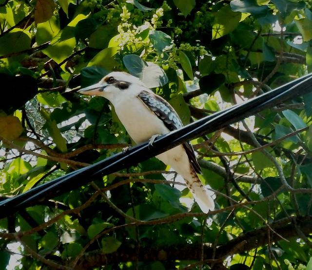 Early morning visitor Juvenile Kookaburra.