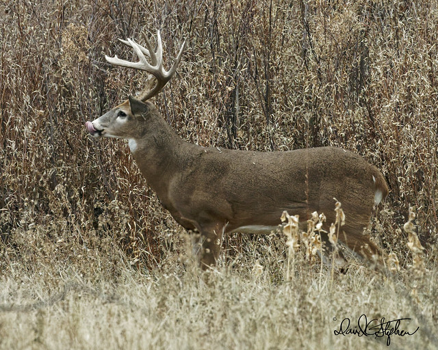 Big Buck During The Rut