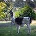 Atticus the Llama