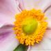 Light Pink Anemone, 8.29.19