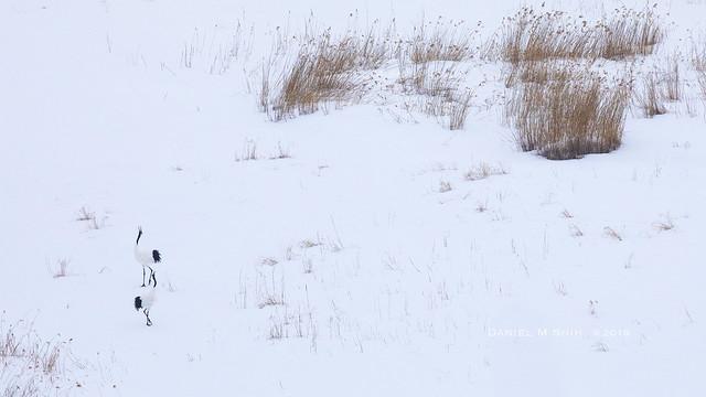 Red-crowned cranes in winter field 傲雪欺霜丹頂鶴