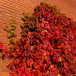 Red Autumn leaves in Preston