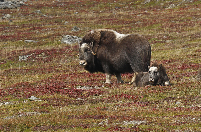 Muskox Cow And Calf