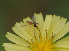 Marmalade hoverfly (Episyrphus balteatus, ホソヒラタアブ) on a Lactuca indica (Indian lettuce,アキノノゲシ ) flower