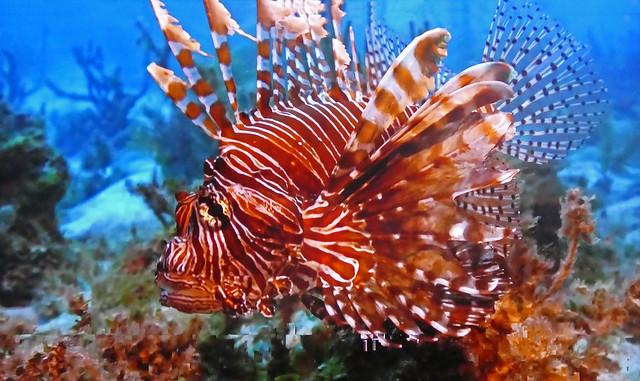 French Polynesia - Lionfish
