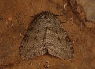 November Moth agg (Epirrita dilutata agg)