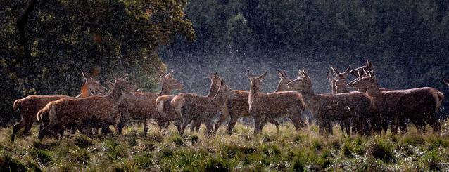 Oh Deer its Raining!