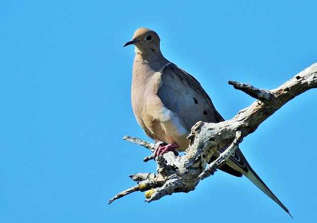 Morning Dove High In A Tree (Zenaida macroura)