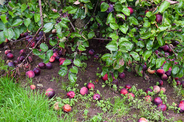 Autumn in Thatchers Collection Cider Apple Orchard