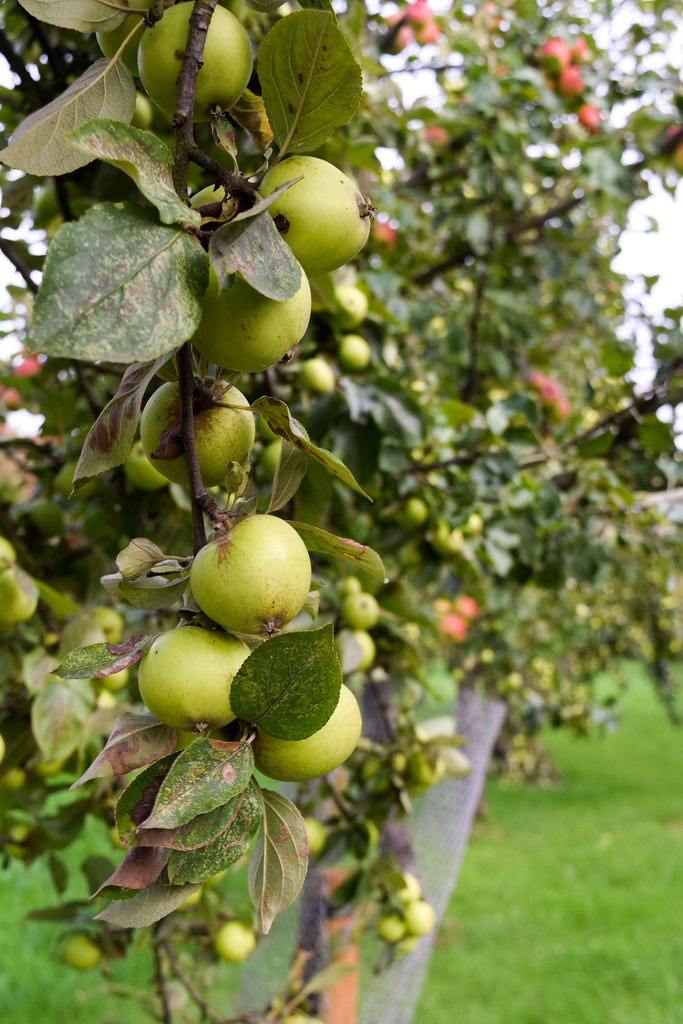 Apple Orchards at The Somerset Cider Brandy Company
