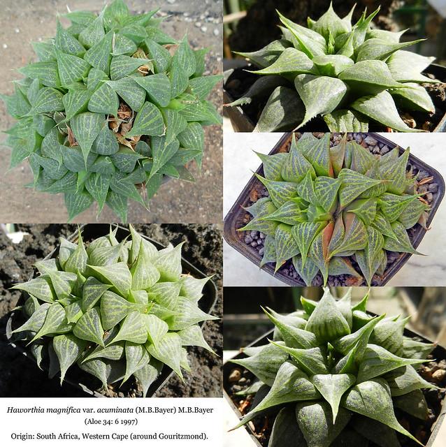 Haworthia magnifica var. acuminata (collage)