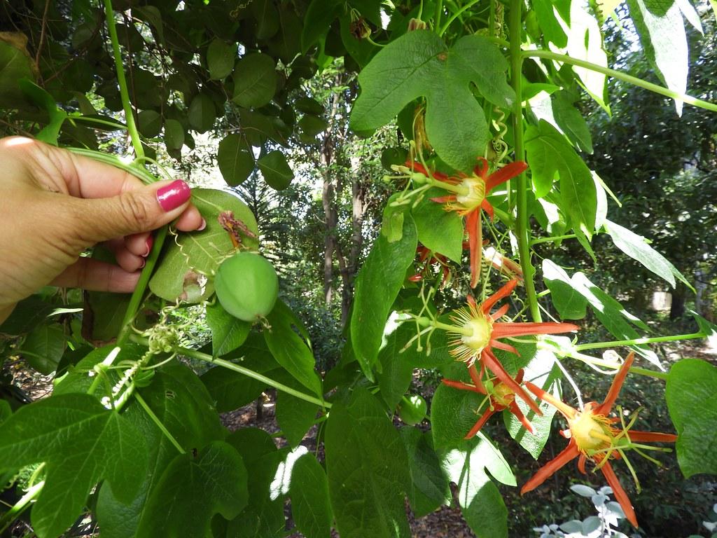 西番蓮科 Passiflora cinnabarina 澳洲西番蓮 Australian native Red Passionflower   西番蓮屬