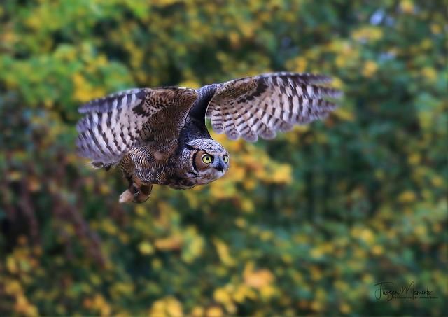 Virginia Uhu/Virginia eagle owl