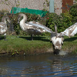 Young swans on the canal bank