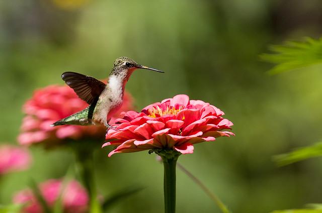 0P7A3933  Ruby-throated Hummingbird, Canada