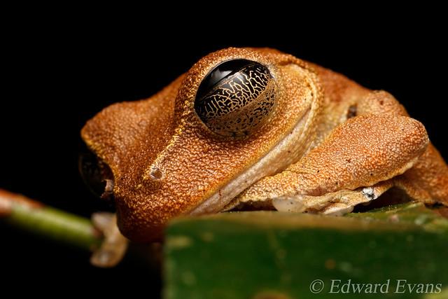 Lace-lid tree frog (Nyctimystes dayi)