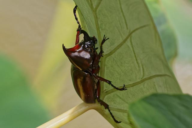 Rhinoceros beetle (m)