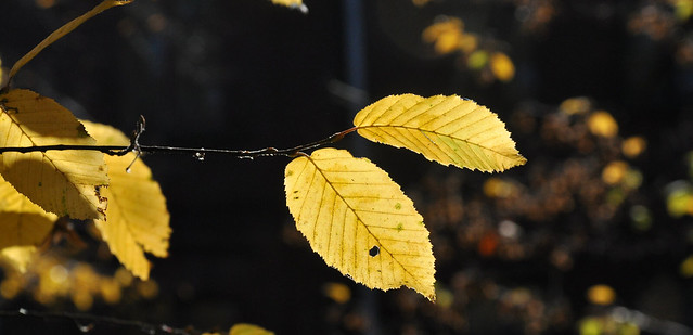golden leaves of Lady of Autumn