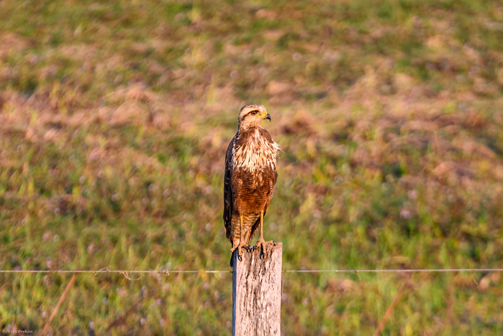 Great Black Hawk (Buteogallus urubitinga), juvenile