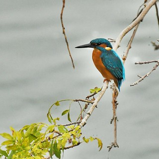 Martin-pêcheur d'Europe - Alcedo atthis - Common kingfisher