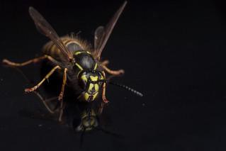 One Wasp, Twice - _TNY_6831