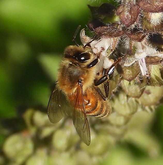 5302e2 honeybee