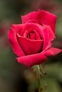 Red Rose BGC 3-0 F LR 10-12-19 J394