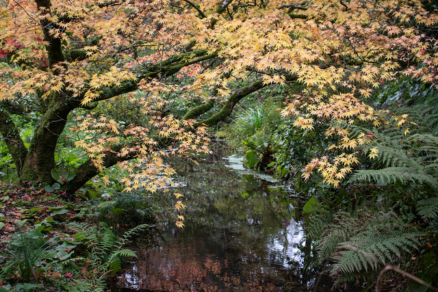 Maples, Minterne Gardens 8