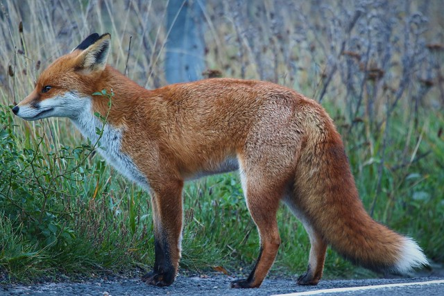 Young Vixen (Vulpes vulpes) Crossing the Dungeness Estate Road