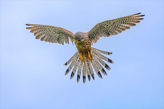 Windhover - Male kestrel hovering