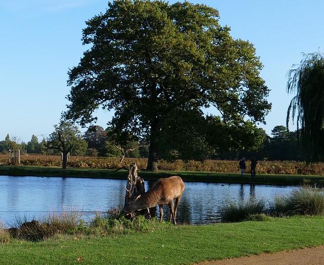 Bushy Park local deer